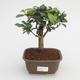 Pokojová bonsai - Australská třešeň - Eugenia uniflora - 1/3