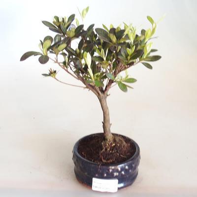 Venkovní bonsai - Rhododendron sp. - Azalka růžová VB2020-802 - 1