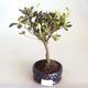 Venkovní bonsai - Rhododendron sp. - Azalka růžová VB2020-802 - 1/3