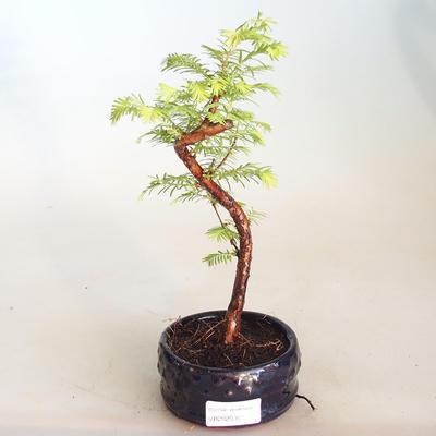 Venkovní bonsai - Metasequoia glyptostroboides - Metasekvoje čínská VB2020-803 - 1