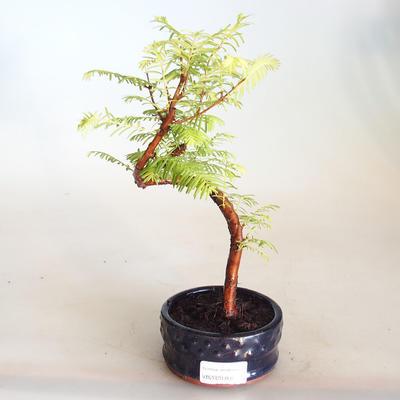 Venkovní bonsai - Metasequoia glyptostroboides - Metasekvoje čínská VB2020-804 - 1