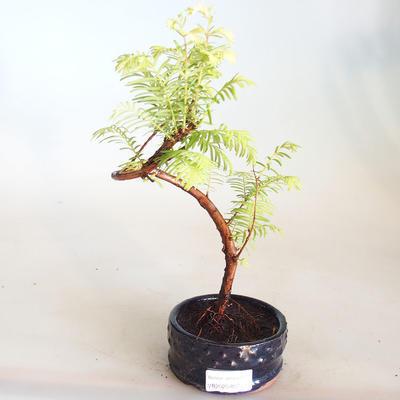Venkovní bonsai - Metasequoia glyptostroboides - Metasekvoje čínská VB2020-807 - 1