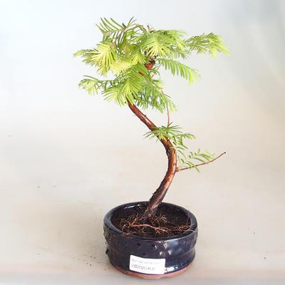 Venkovní bonsai - Metasequoia glyptostroboides - Metasekvoje čínská VB2020-808 - 1