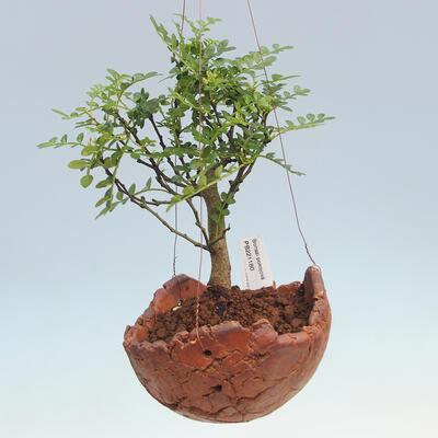 Kokedama v keramice -  Pepřovník, koření dlouhověkosti - Zantoxylom piperitum - 1