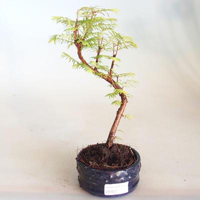 Venkovní bonsai - Metasequoia glyptostroboides - Metasekvoje čínská VB2020-810 - 1