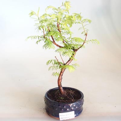 Venkovní bonsai - Metasequoia glyptostroboides - Metasekvoje čínská VB2020-812 - 1
