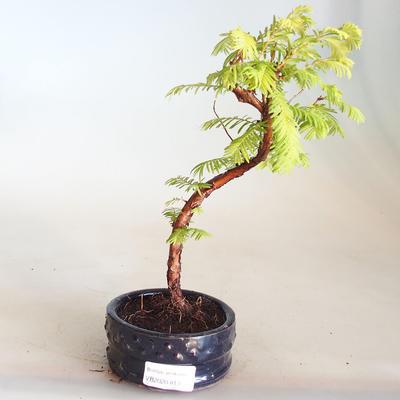 Venkovní bonsai - Metasequoia glyptostroboides - Metasekvoje čínská VB2020-813 - 1