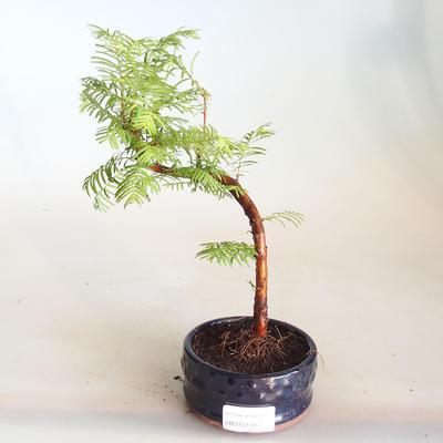 Venkovní bonsai - Metasequoia glyptostroboides - Metasekvoje čínská VB2020-814 - 1