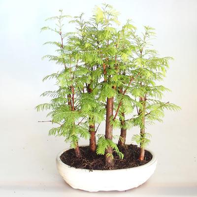 Venkovní bonsai-LESÍK - Metasequoia glyptostroboides - Metasekvoje čínská VB2020-816 - 1
