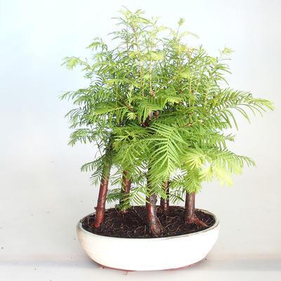 Venkovní bonsai-LESÍK - Metasequoia glyptostroboides - Metasekvoje čínská VB2020-818 - 1