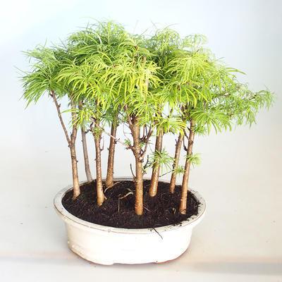 Venkovní bonsai-LESÍK - Metasequoia glyptostroboides - Metasekvoje čínská VB2020-823 - 1