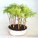 Venkovní bonsai-LESÍK - Metasequoia glyptostroboides - Metasekvoje čínská VB2020-823 - 1/3