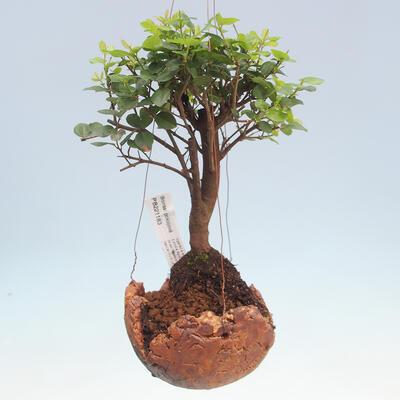 Kokedama v keramice - Sagerécie čajová - Sageretia thea - 1