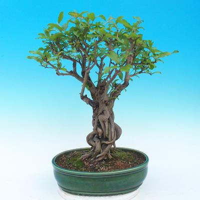 Pokojová bonsai-PUNICA granatum nana-Granátové jablko - 1
