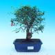 Pokojová bonsai-PUNICA granatum nana-Granátové jablko - 1/3
