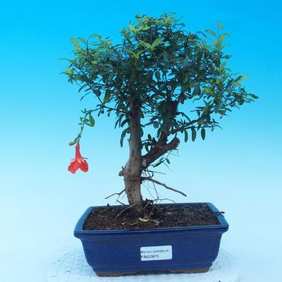 Izbová bonsai-Punic granatum nana-Granátové jablko - 1