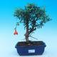 Izbová bonsai-Punic granatum nana-Granátové jablko - 1/3
