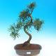 Pokojová bonsai - Podocarpus - Kamenný tis - 1/4