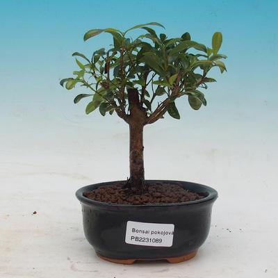 Pokojová bonsai - Australská třešeň - Eugenia uniflora - 1