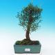 Pokojová bonsai - Syzygium - Pimentovník - 1/3