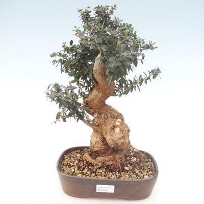 Pokojová bonsai - Olea europaea sylvestris -Oliva evropská drobnolistá PB2192025