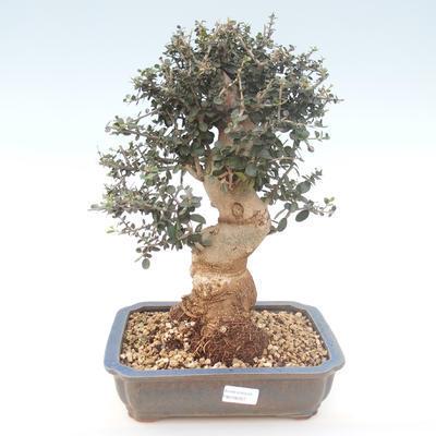 Pokojová bonsai - Olea europaea sylvestris -Oliva evropská drobnolistá PB2192027