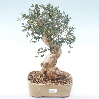Pokojová bonsai - Olea europaea sylvestris -Oliva evropská drobnolistá PB2192029