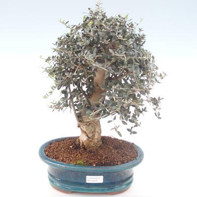 Pokojová bonsai - Olea europaea sylvestris -Oliva evropská drobnolistá PB2192032 - 1