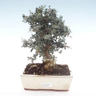 Pokojová bonsai - Olea europaea sylvestris -Oliva evropská drobnolistá PB2192033 - 1