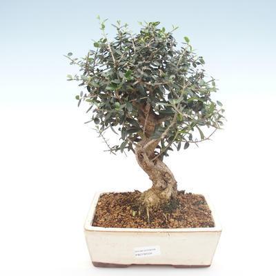 Pokojová bonsai - Olea europaea sylvestris -Oliva evropská drobnolistá PB2192034 - 1