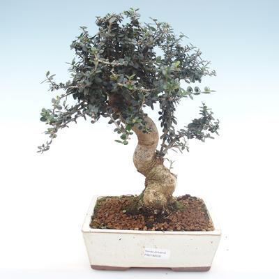 Pokojová bonsai - Olea europaea sylvestris -Oliva evropská drobnolistá PB2192035 - 1