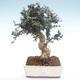 Pokojová bonsai - Olea europaea sylvestris -Oliva evropská drobnolistá PB2192035 - 1/6