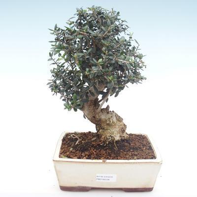 Pokojová bonsai - Olea europaea sylvestris -Oliva evropská drobnolistá PB2192036 - 1