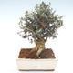 Pokojová bonsai - Olea europaea sylvestris -Oliva evropská drobnolistá PB2192037 - 1/6