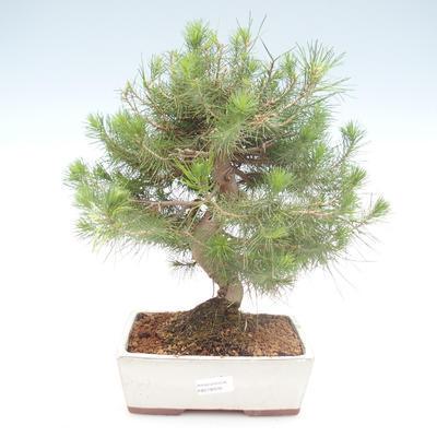Pokojová bonsai-Pinus halepensis-Borovice alepská PB2192039