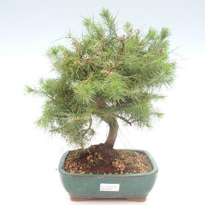 Pokojová bonsai-Pinus halepensis-Borovice alepská PB2192040