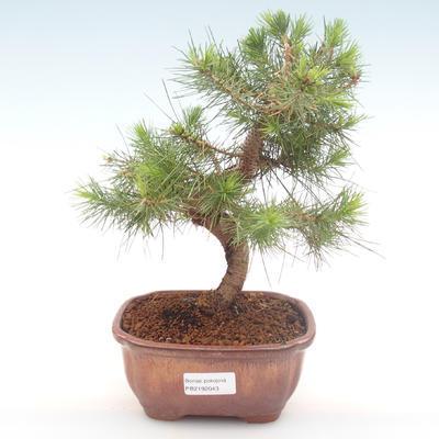 Pokojová bonsai-Pinus halepensis-Borovice alepská PB2192043