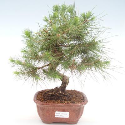 Pokojová bonsai-Pinus halepensis-Borovice alepská PB2192044