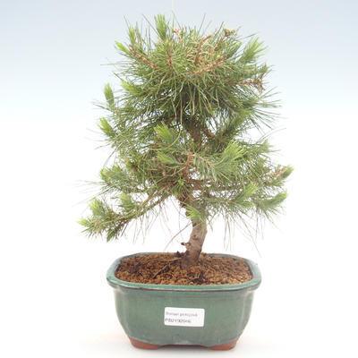 Pokojová bonsai-Pinus halepensis-Borovice alepská PB2192046