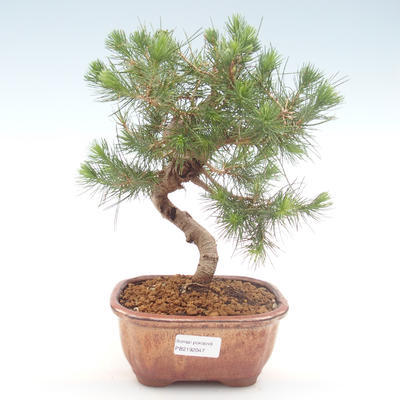 Pokojová bonsai-Pinus halepensis-Borovice alepská PB2192047