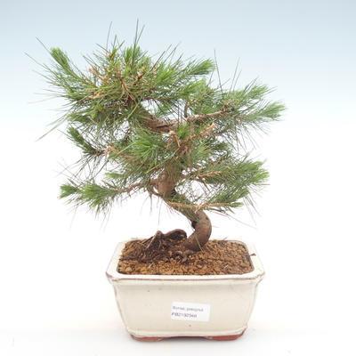Pokojová bonsai-Pinus halepensis-Borovice alepská PB2192048