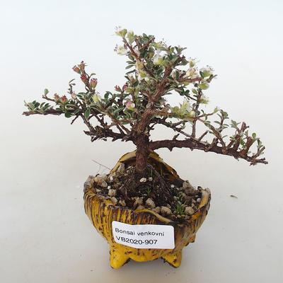 Vonkajšia bonsai-Cotoneaster horizontalis-Skalník - 1