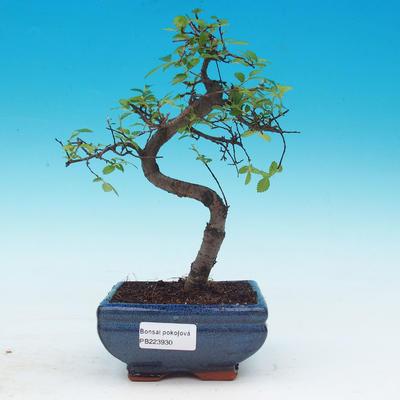 Izbová bonsai - Ulmus parvifolia - malolistá brest - 1