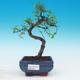 Izbová bonsai - Ulmus parvifolia - malolistá brest - 1/3