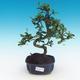 Pokojová bonsai - Carmona macrophylla - Čaj fuki - 1/5
