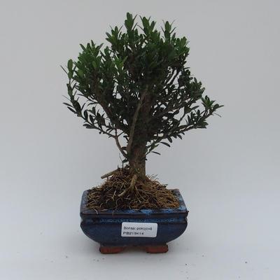 Pokojová bonsai - Buxus harlandii -korkový buxus - 1