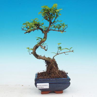Pokojová bonsai -Ligustrum chinensis - Ptačí zob - 1