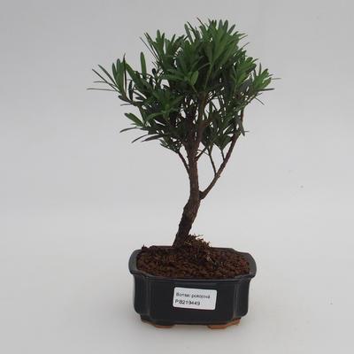 Pokojová bonsai - Podocarpus - Kamenný tis - 1