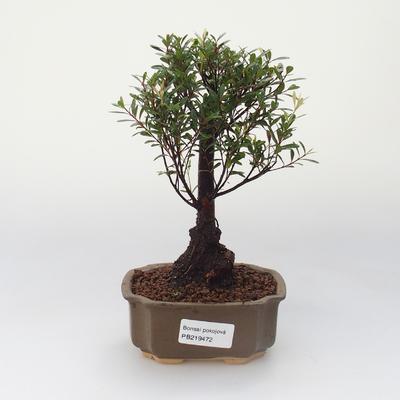 Pokojová bonsai - Syzygium - Pimentovník - 1