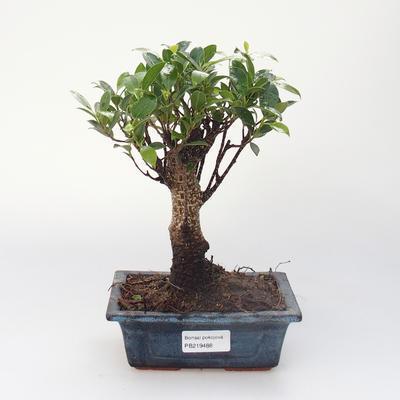 Pokojová bonsai - Ficus retusa -  malolistý fíkus - 1